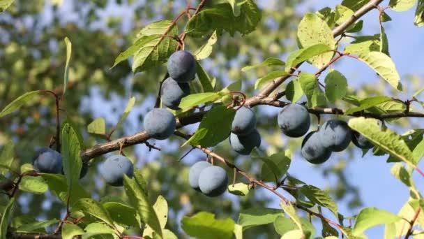 A orchard Vértes érett szilva ág