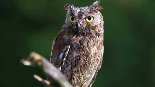 Az (Európai) füleskuvik ül egy ágon, és keresi a ragadozó erdei habitat