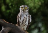 Little owl sitting on a branch in the forest on a sunny summer da