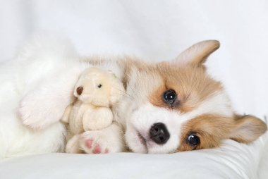 Purebred Welsh Corgi Pembroke puppy lying in bed in an embrace with his favorite toy Teddy bea stock vector