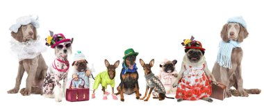 Group of dogs of different breeds dressed in clothes isolated on a white backgroun