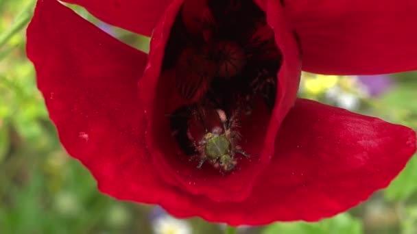 Pyl, který krmí brouka na rudých květinových okvětích. Jarní detail.