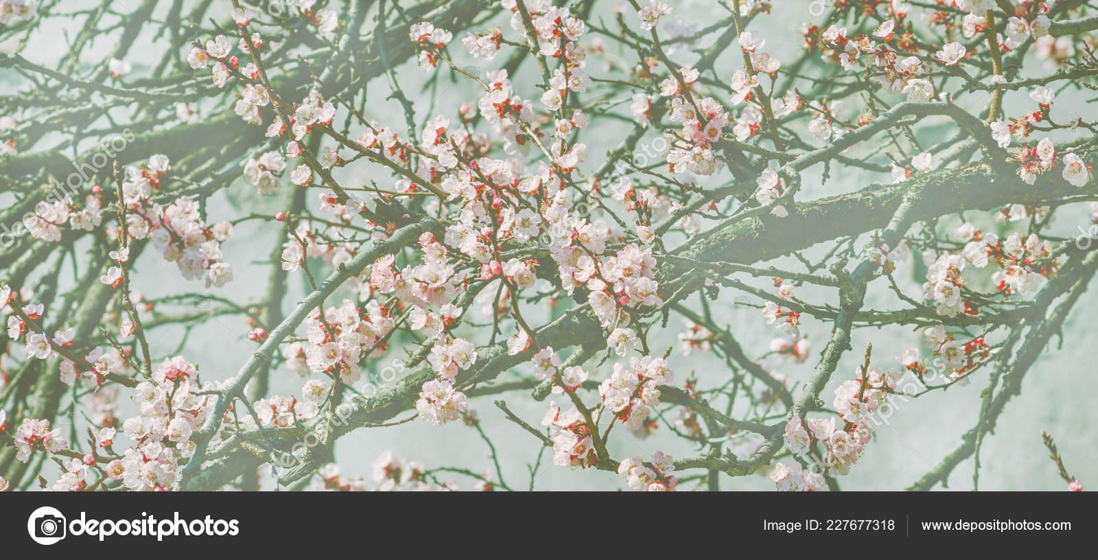 Fond Ecran Avec Branche Cerisier Fleurs Dans Jardin Japonais