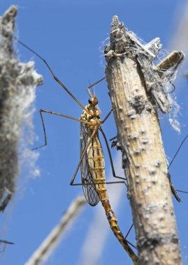 Mayflies, shadflies, fishflies (Ephemeroptera). On the tree. Fishing bait