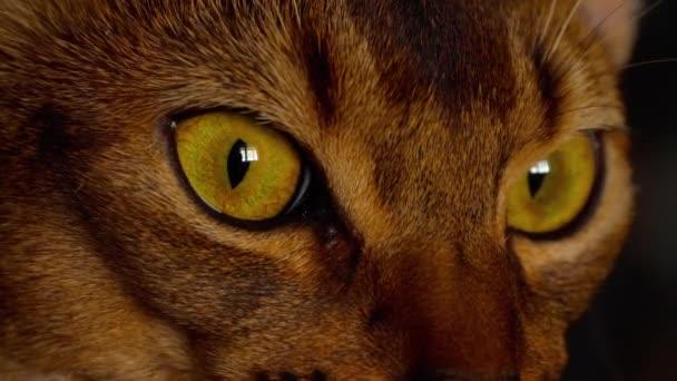 Abessinisches Katzenporträt