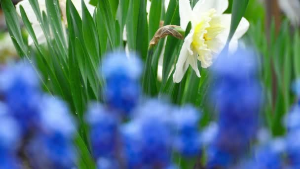 Blue flowers Muscari and narcissus with raindrops