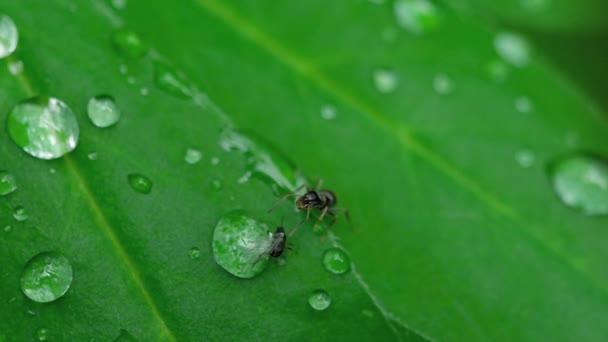 Nahaufnahme von Ameise und Blattlausfresser