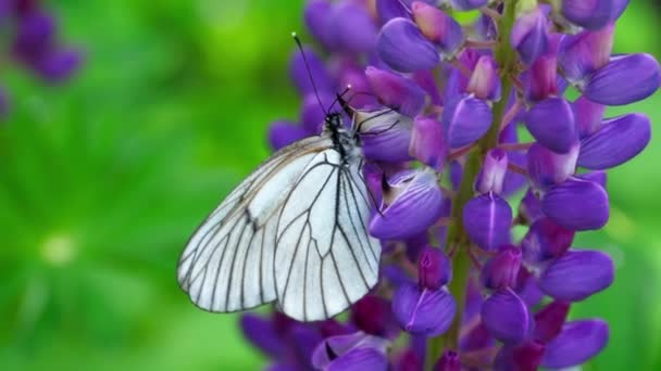 Černá s plísní dětský muzikál Bílý motýl na květy Lupina