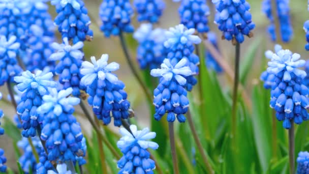 Blue flowers Muscari with raindrops