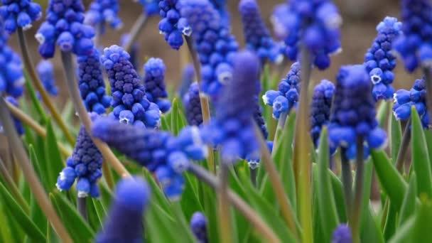 modré květy Modřenec