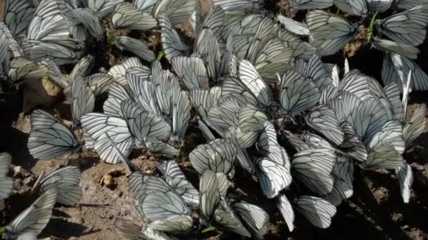 Aporia crataegi, černou plísní dětský muzikál Bílý motýl na zem, pomalý pohyb
