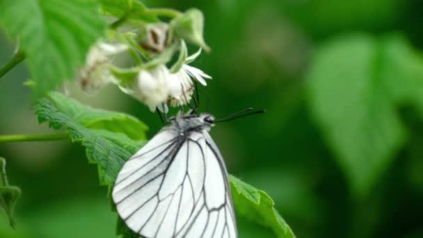 Málna virágok fekete erezett fehér pillangó