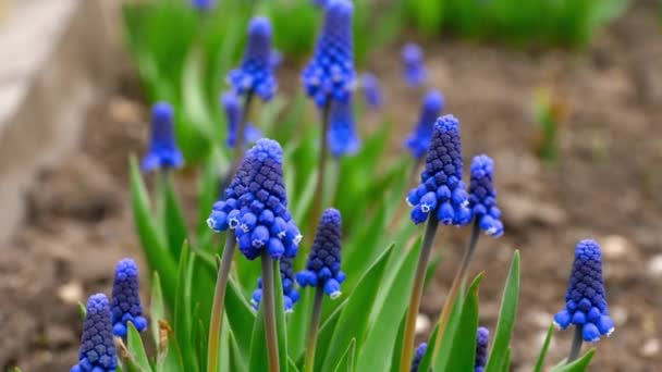 muscari kék virágok