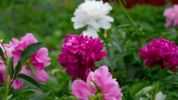 színes bazsarózsa virágok