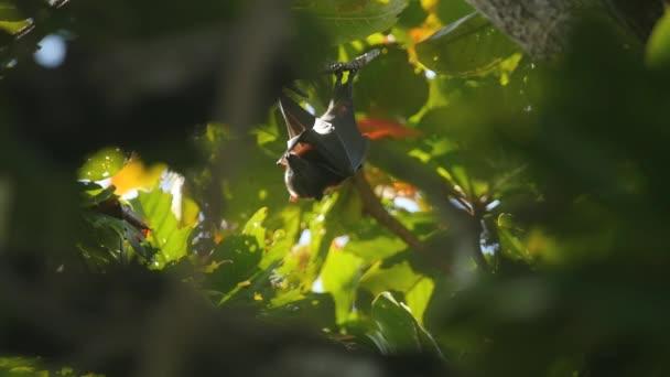 fliegender Fuchs hängt an einem Ast und spült