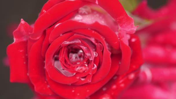 Closeup of a beautiful red Rose with rain drops