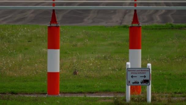 Feldhase Lepus Europaeus in der Nähe von Start-und Landebahn des Flughafens Düsseldorf