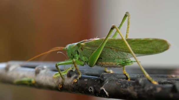 Nagy zöld locust férfi
