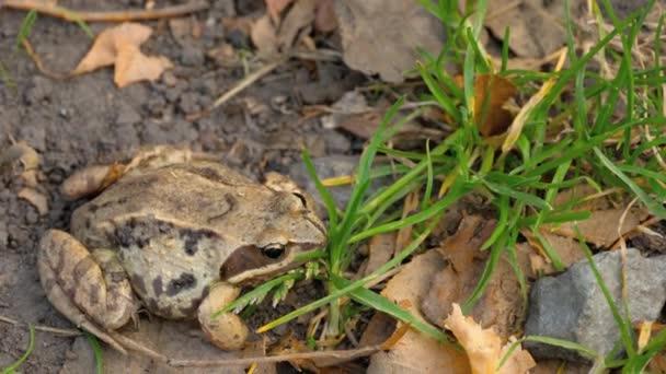 Rana del Brown in erba