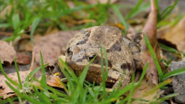 Brauner Frosch im Gras