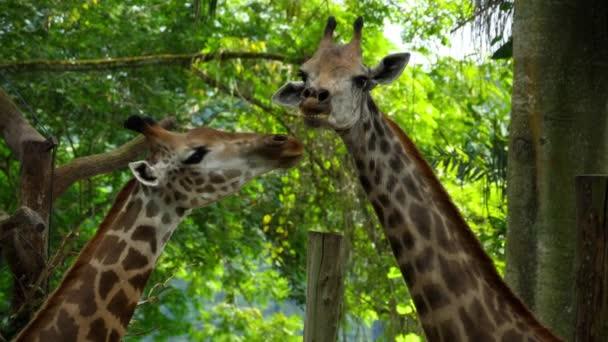 Dvě žirafy v savannah