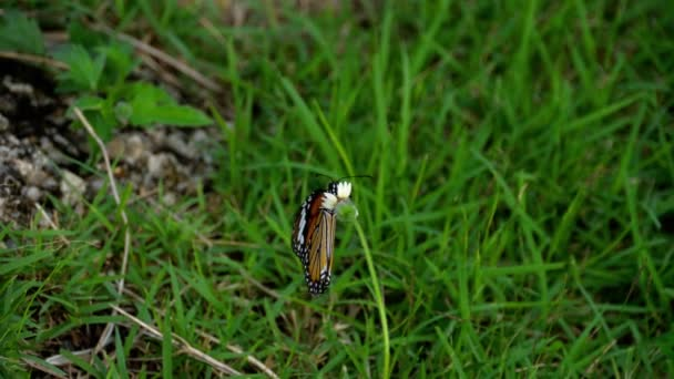 Monarch motýl na květině