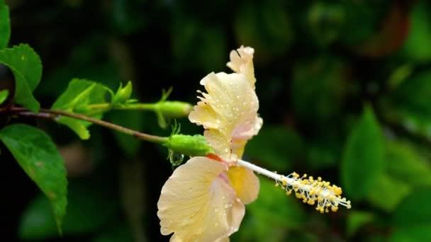 Soft orange Hibiszkusz virág után eső
