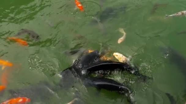 Koi ryby a tolstolobik v rybníku jíst