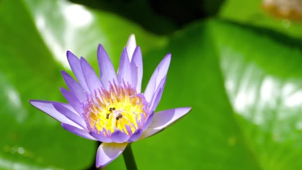 Water Lily Flower with wasps