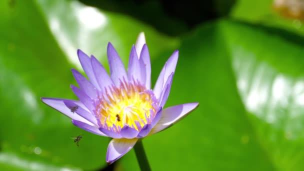Víz liliom virág darazsak