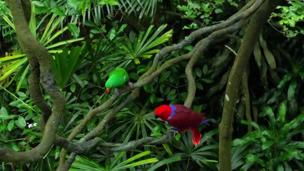 Green and red couple Eclectus parrots
