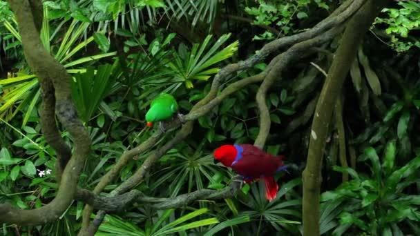 Zelené a červené pár Eclectus papoušci