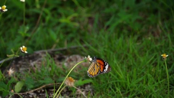 Monarcha motýl na květu