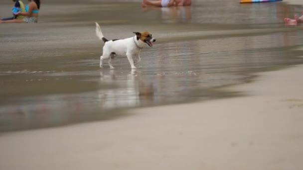 Jack Russell teriér psi na pláži