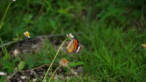 uralkodó pillangó a virág