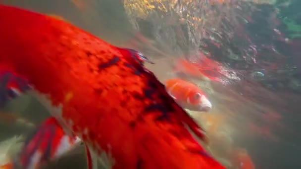 Underwater Koi fish in pond eating.