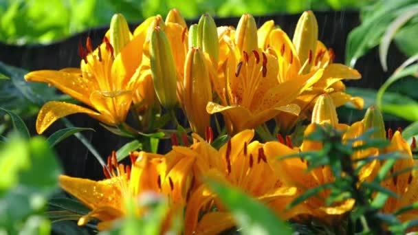 Žlutý květ lilie v dešti