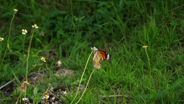 Császár pillangó a virágon