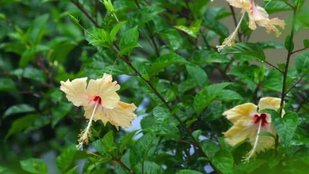 Krémes Hibiszkusz virág-eső alatt