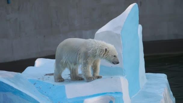 Polar bear cub playing in water