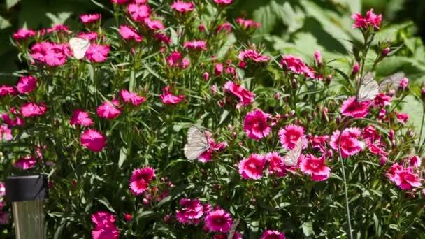 Fekete erezetű fehér pillangók
