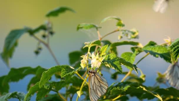 černou plísní bílý motýl