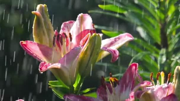 Růžový květ lilie v dešti