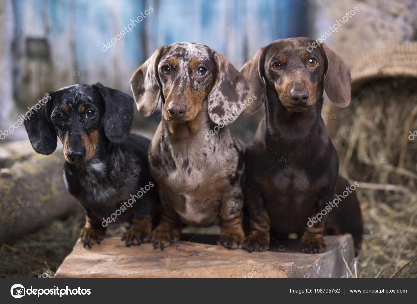 Dachshund Dog Portrait Group Dogs Different Colors Stock Photo