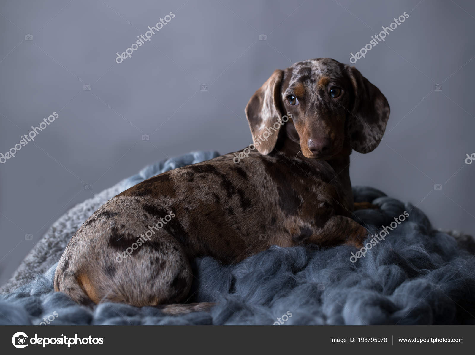 Dachshund Dog Portrait Grey Background Stock Photo C Lilun Li 198795978