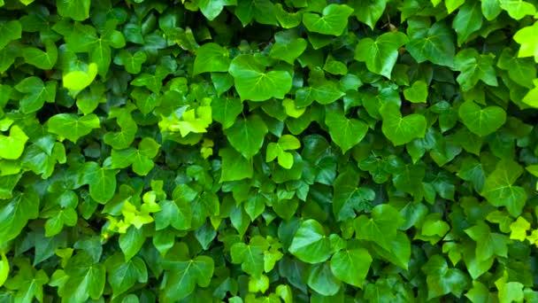 Wand ist mit grünen Blättern bedeckt, die im Wind schwanken