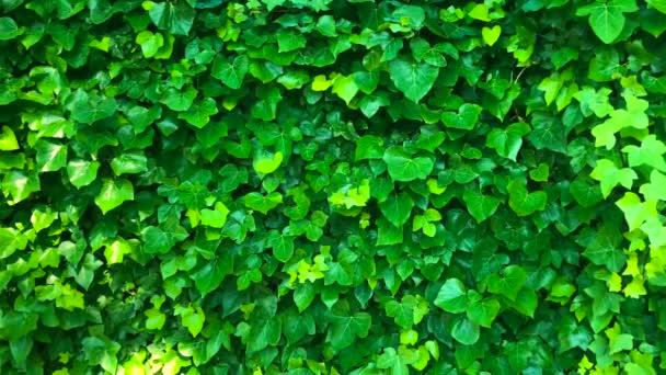 Stěna je pokryta zelenými listy, které houpat se ve větru