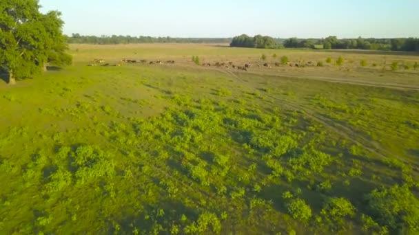 fliegen über grüne Wiesen mit grasenden Kühen. Luftbilder vom Land