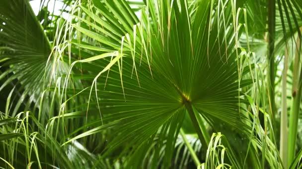 Tropical rain through palm leaves