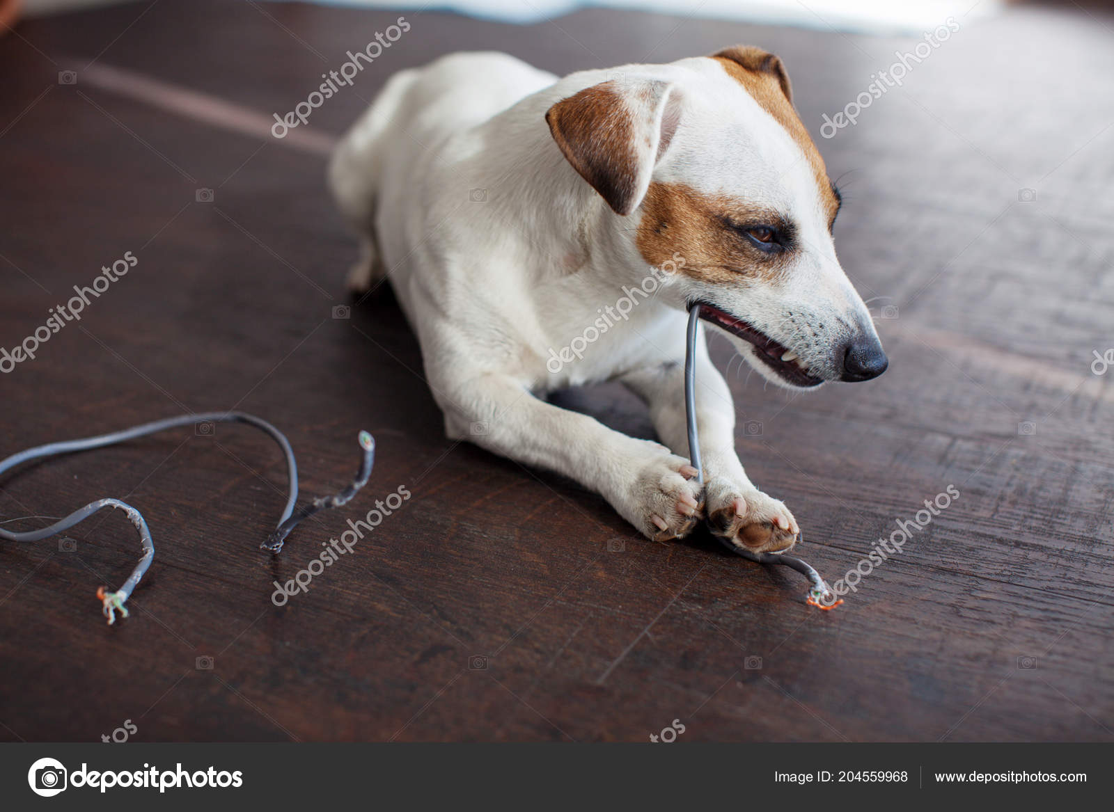 Dog Chewed Wires Naughty Dog Bully Home — Stock Photo © TatyanaGl ...